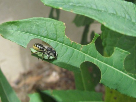 Image of leafcutter bee mom by Christy Stewart