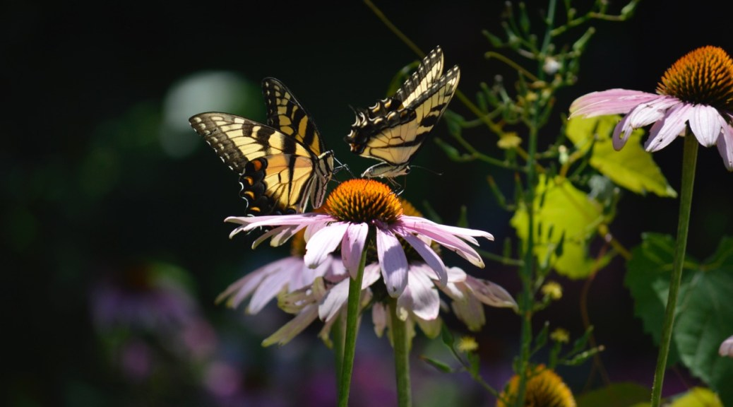 Image of swallowtails on echinacea