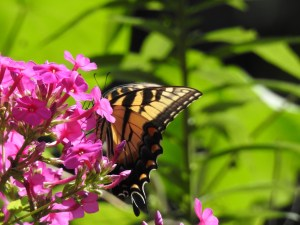 Image of Eastern tiger swallowtail on phlox