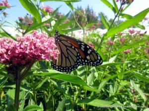 Image of monarch at Broadfork Farm
