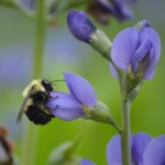 Image of false indigo with bee
