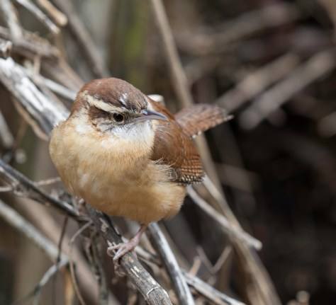 Image of Carolina wren in brush pile