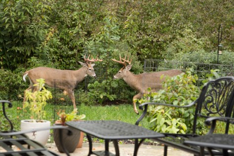 Image of deer in Toni's garden