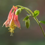Image of columbine in Genberg garden