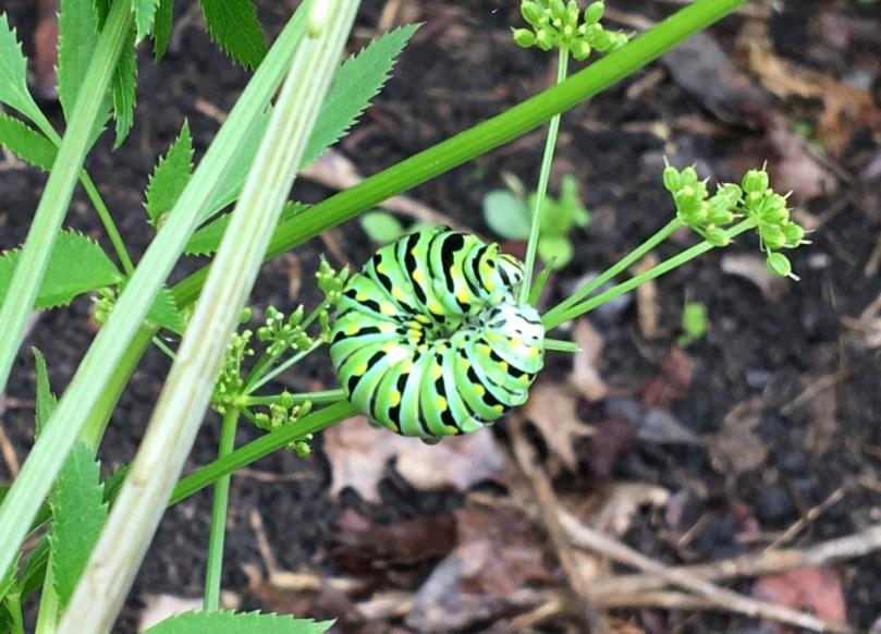 Image of black swallowtail caterpillar in Toni's garden