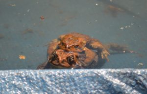Image of mating toads in swimming pool