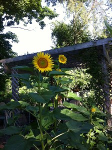 Image of sunflowers in Sharon Patterson's garden