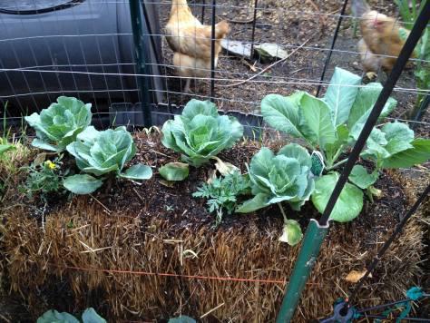 Image of straw bale garden in Sharon Patterson's garden