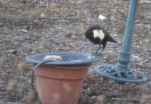Image of crow with bun in birdbath