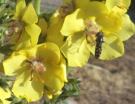 Image of mullein and pollinators