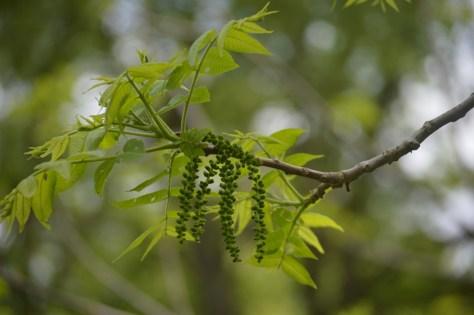 Image of walnut branch