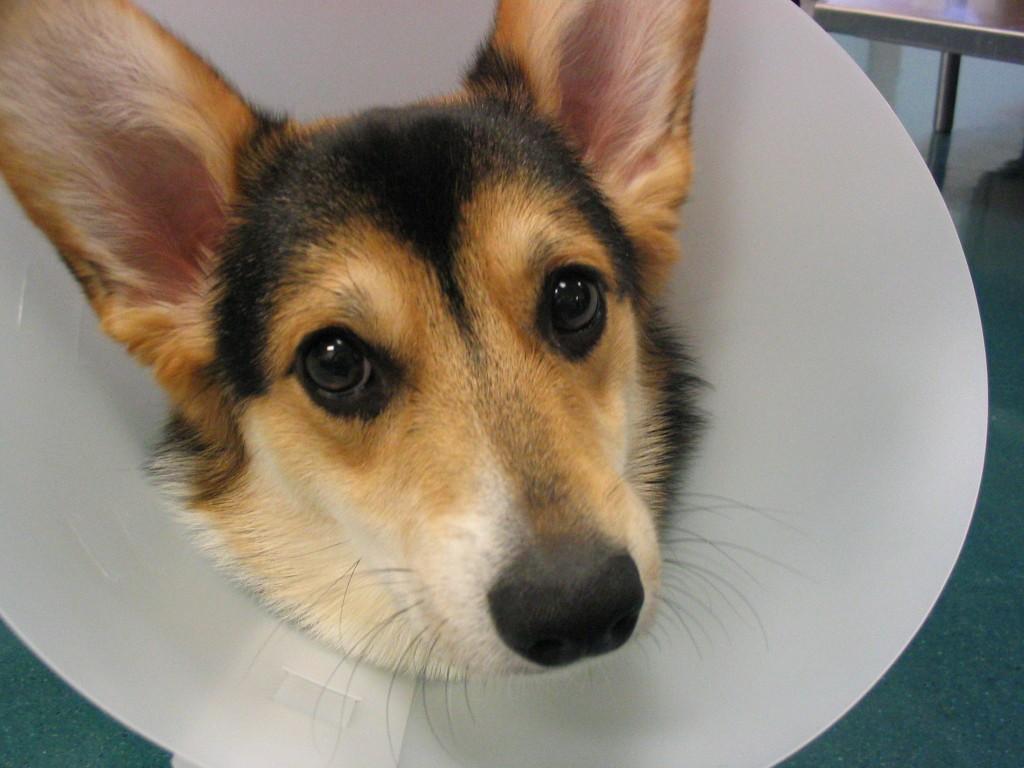 Fullsize Of Homemade Dog Cone