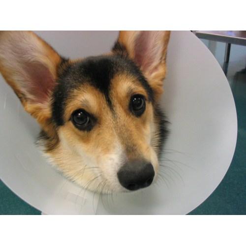 Medium Crop Of Homemade Dog Cone