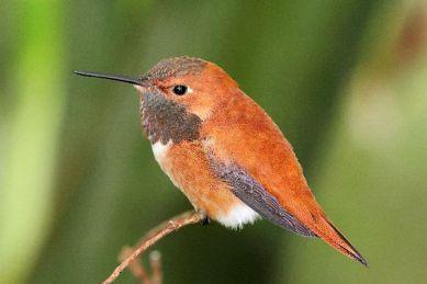 Resultado de imagen para colibri rufus