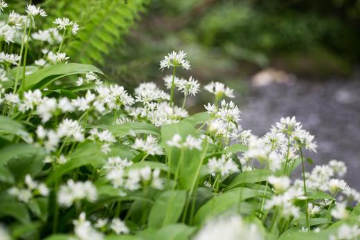 Wild Garlic @ Gosford Forest Park