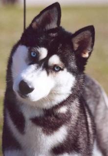 Baby Girl Names Wallpaper Black Siberian Huskies Colors Of The Siberian Husky