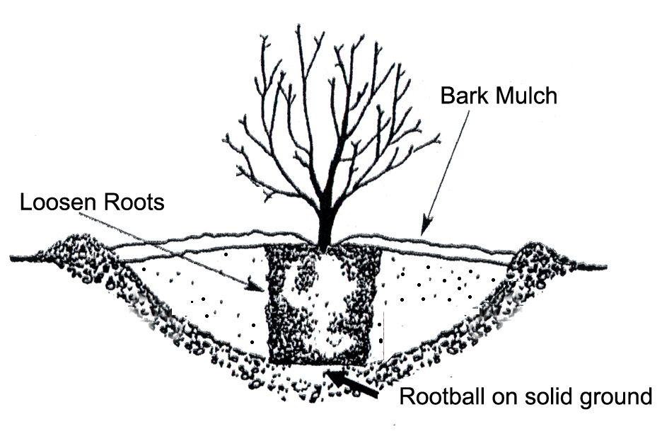 strawberry planting depth diagram more