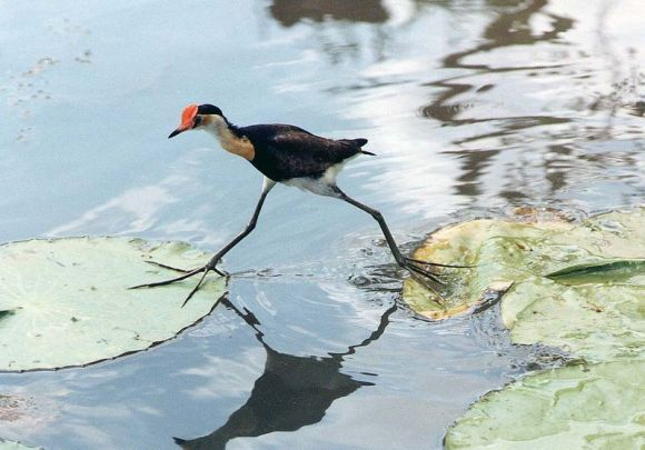 comb-crested-jacana-irediparra-gallinacea-by-wiki