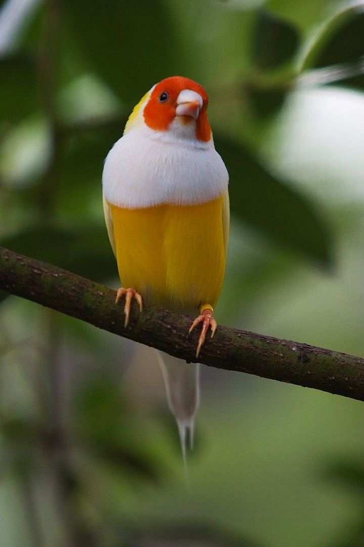 Lady_Gouldian_finch___yellow_by_secondclaw