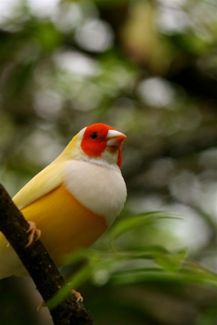 Red-headed White-breasted Gouldian