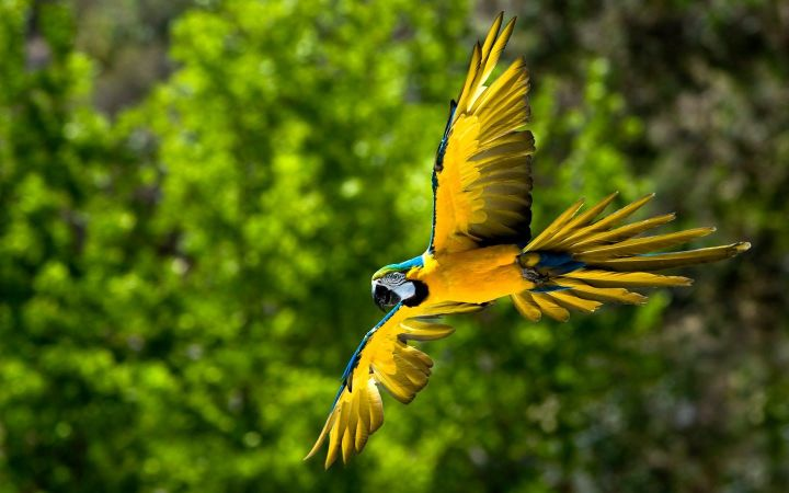 Blue-and-yellow Macaw 1