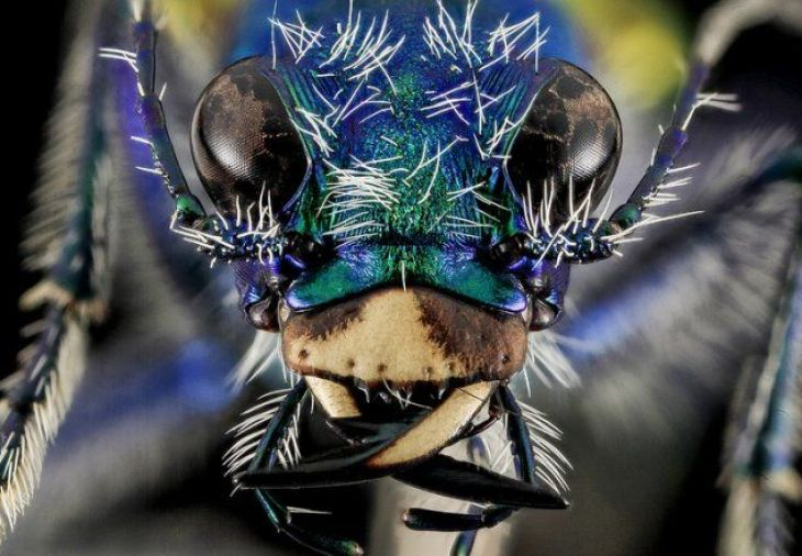 insects-festive-tiger-beetle-670-1