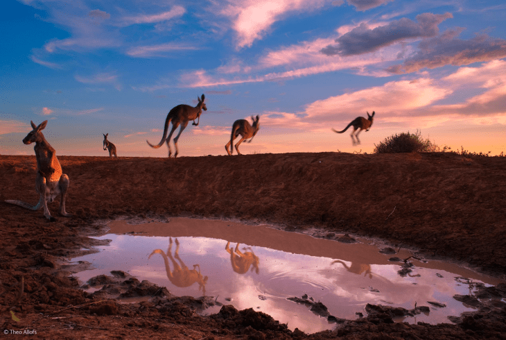 red-kangaroos-at-waterhole-by-theos-allofs-from-germany