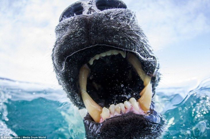 239BB7C000000578-2854797-Predator_Huge_fangs_used_for_hunting_are_visible_but_now_polar_b-100_1417359879476
