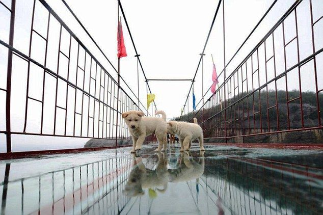 "Pic shows: Security guards had to rescue these dogs afther they got too scared to cross all the bridge to the other side. Security guards had to rescue a family of dogs including several puppies after they followed tourists onto a glass suspension bridge - but then got too scared to cross all the way to the other side. The incident happened at the Shiniuzhai Scenic Spot where earlier this year part of the floor was removed, and replaced by glass panels that cover a 10 metre section. The move made the bridge a popular tourist attraction but it proved too much for the dog family that were too scared to cross over the glass. Security guard Xiong Yin, 35, said: ""Some of the dogs did not seem to mind but the rest refused to step on the glass. There was a risk that the dogs that were all very small might fall, and so we decided to remove them. They were very popular with tourists that had been posing for pictures with them. But it was dangerous."" He added that usually dogs and other animals avoided the bridge, but he believed these dogs had followed a small group of tourists that had been feeding them, and had hoped to get more food later by keeping behind the visitors. The bridge is one of the most famous sights in the scenic spot in China's Hunan province. At 300-metres-long and 180-metres-high, it became really famous when the glass floor was added this year, with further glass expected to be added across the whole bridge next year. (ends)"