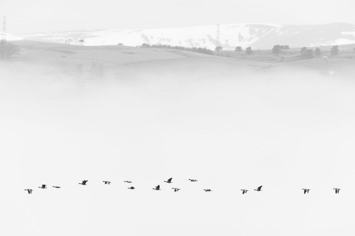 Black_and_white_winner_geese_in_mist