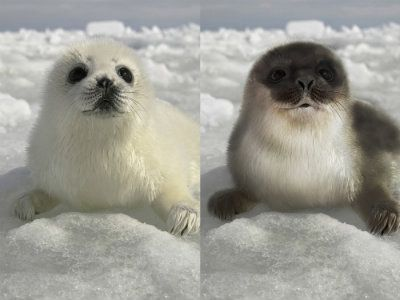 Harp-Pup-and-Hooded-Seal-Pup