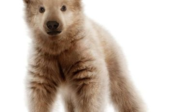 polar-bear-and-grizzly-hybrid-baby