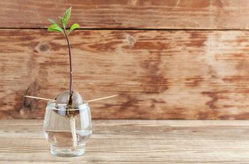 Avocado seed with root and sprout with leaves in glass with water – fourth growth stage of avocado plant