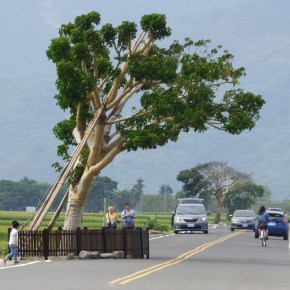 Iconic Tree in Taitung Still Drawing Tourists