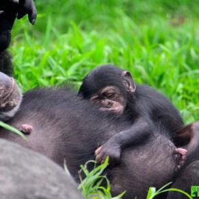 Taipei Zoo Announces Birth of New Chimpanzee