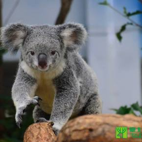 Zoo Calls for Hushed Tones With New Baby Koalas