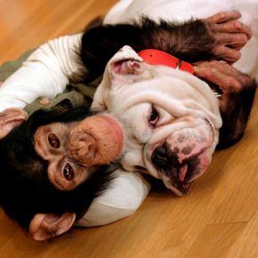 Fans Mourn Japanese Bulldog Star's Passing