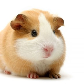 English in the News—Guinea Pig 白老鼠