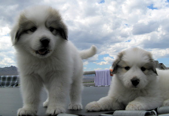 Idaho Great Pyrenees » Great Pyrenees Puppy Sales Contract - puppy sales contract