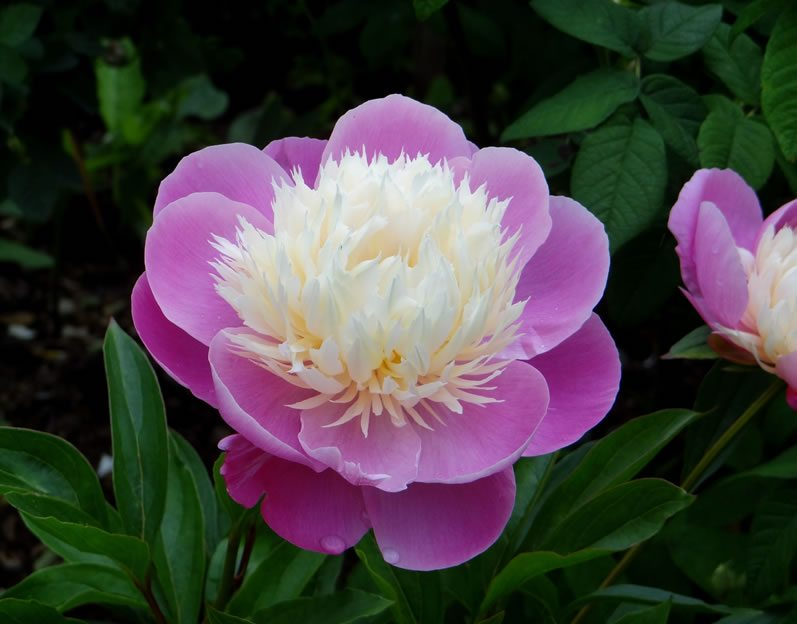 Fall Season Wallpaper Free Peony I Do Still