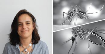 IHMT vai medir literacia sobre uso de mosquitos geneticamente modificados