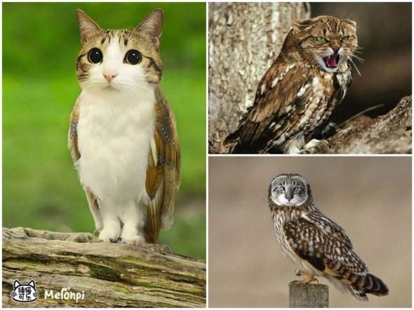 Cute Game Of Thrones Wallpaper Meet The Meowls The Owl And Cat Hybrid The Internet Has