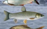 Fish-species-for-ponds-culture--