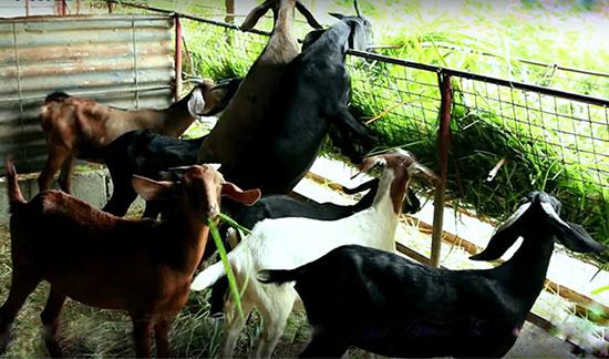 goats-feeding bakri ka bhojan