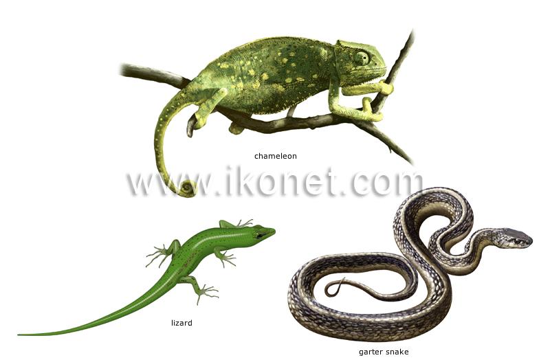 animal kingdom \u003e reptiles \u003e examples of reptiles image - Visual - examples of