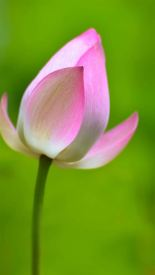 Plus Lotus Flower IPhone Backgrounds