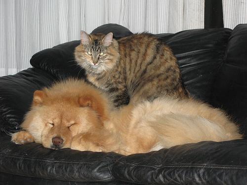 Il Chow chow è il gatto della specie canina me un gatto