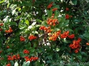 autumn berrie