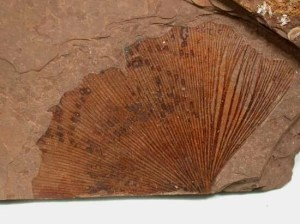 Wikipedia photo of Gingko fossil