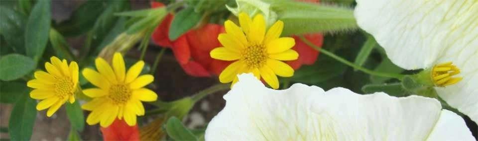 Annuals for Your Garden: Dahlberg Daisy
